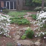 White azaleas in our backyard