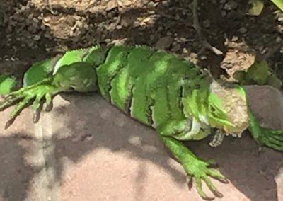 Iguana Aruba